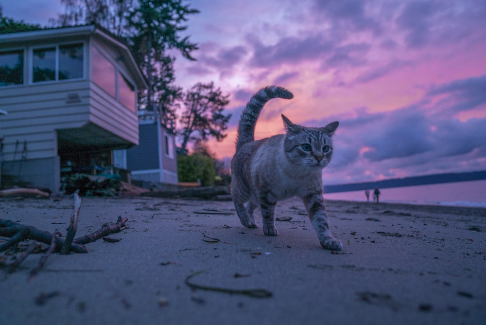gray and black cat walking on seashore