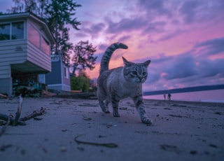 gray and black cat walking on seashore