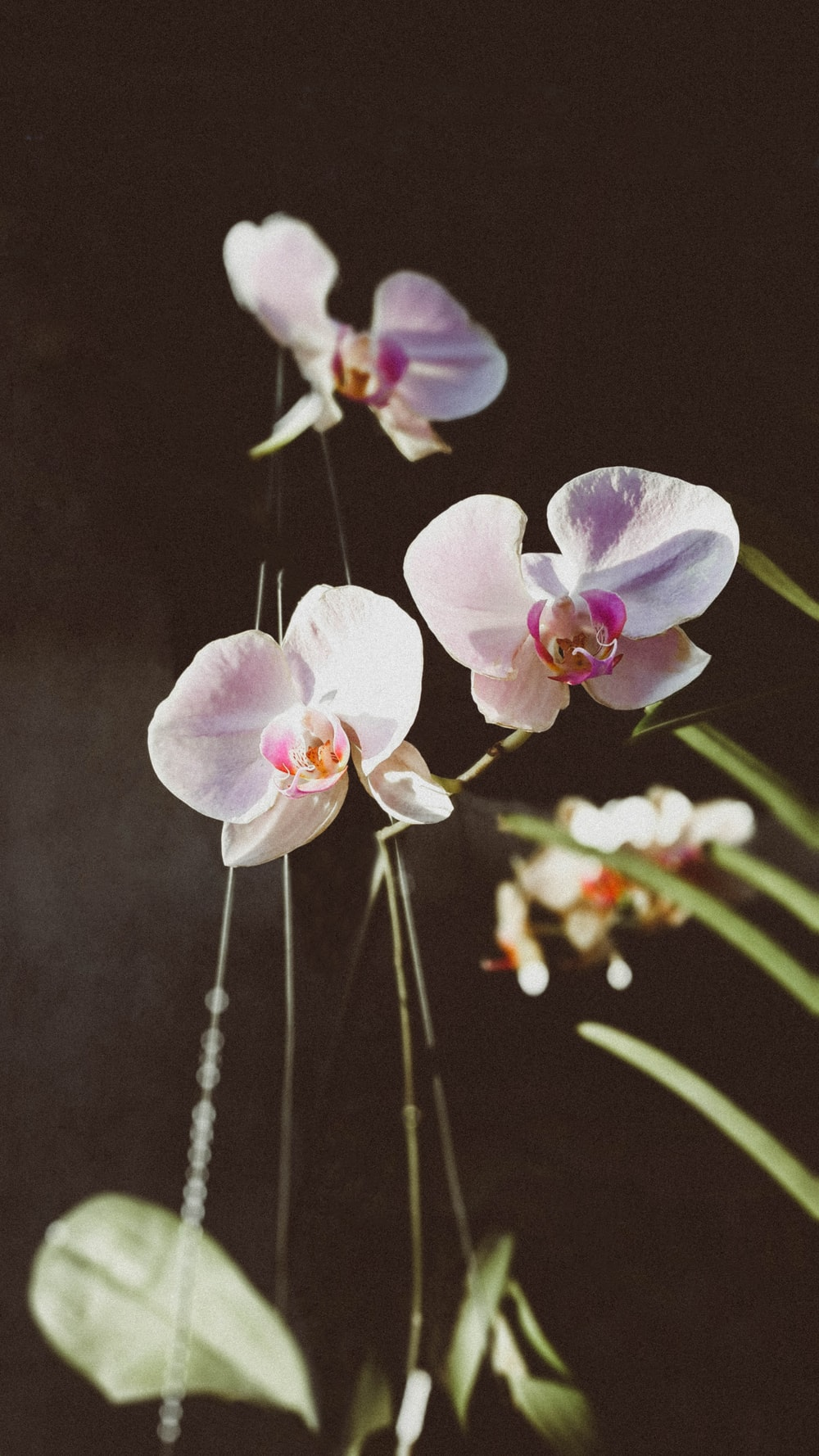 white moth orchid with leaves