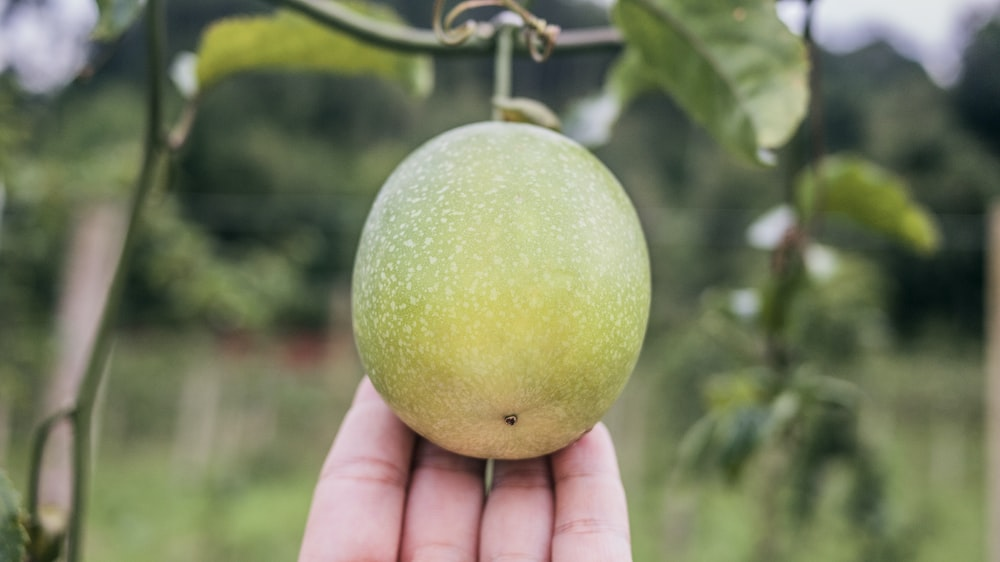person touching round green fruit