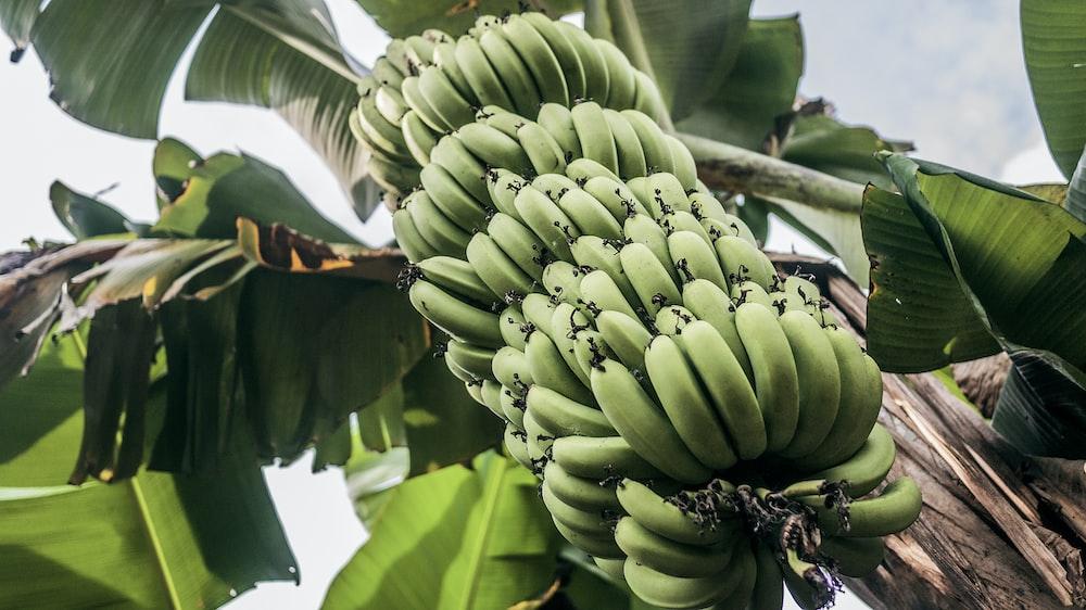 green banana fruits and tree during daytime