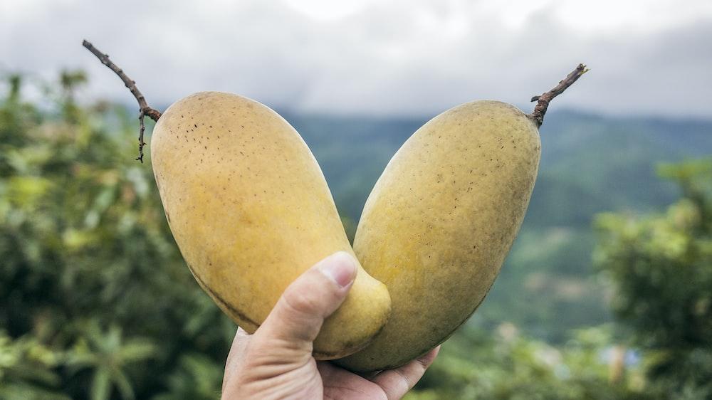 two yellow mango fruits