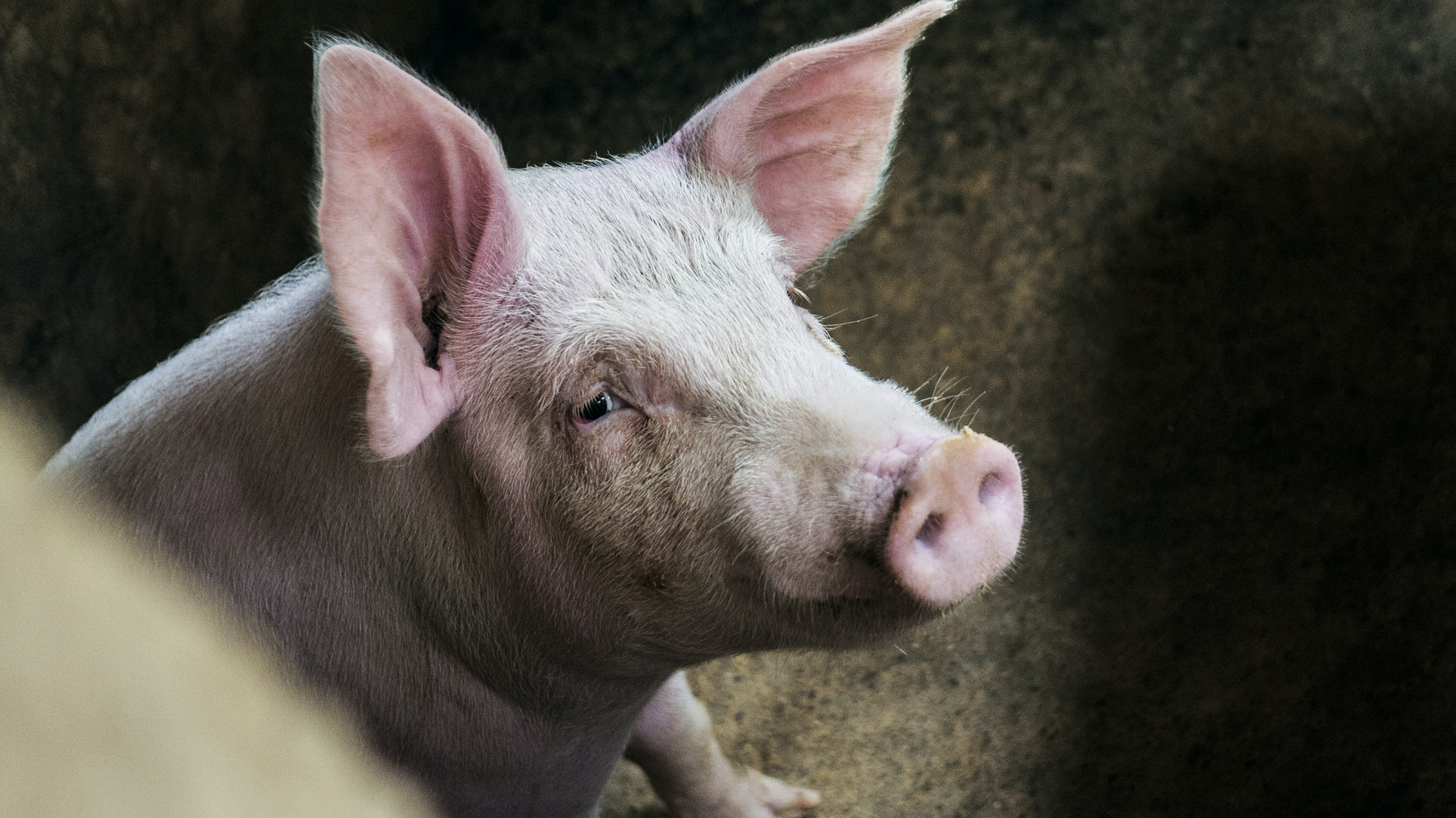 photo of pink pig
