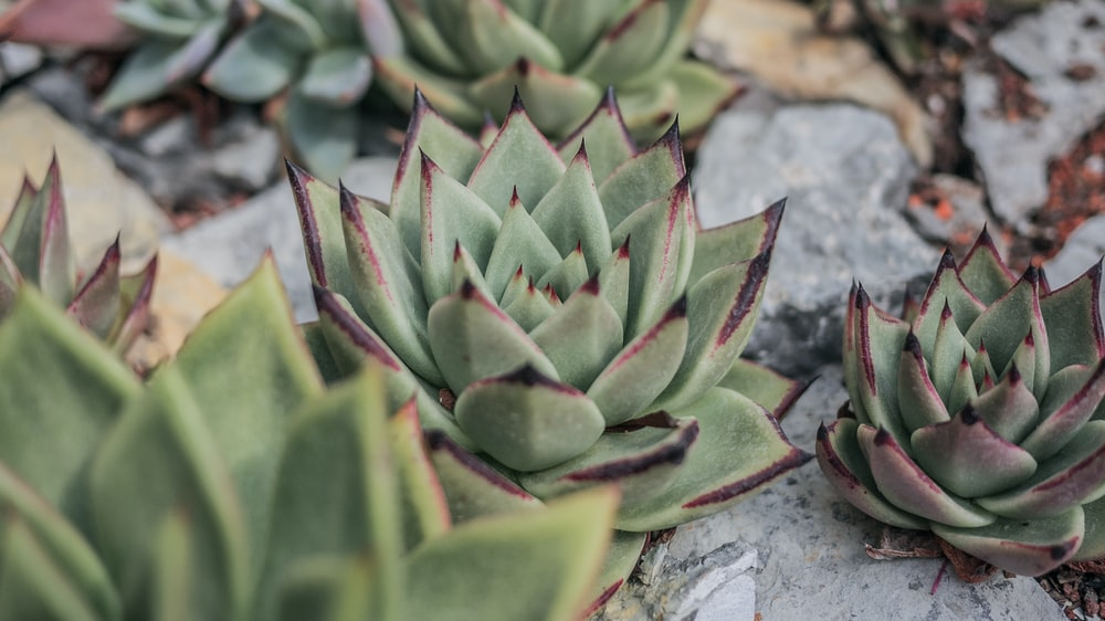 close-up photography of succulent plants