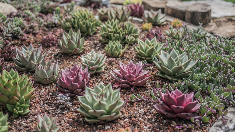 green and pink succulent plant garden