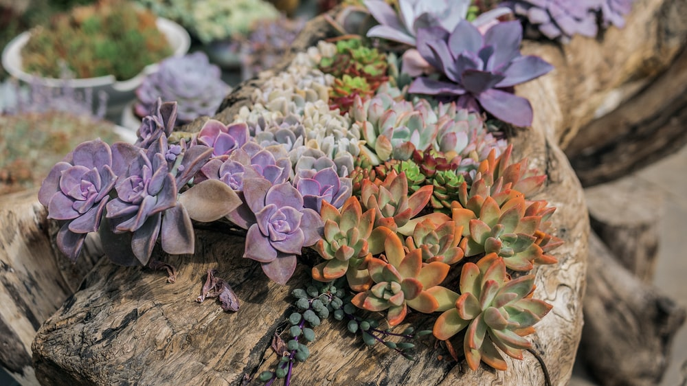 purple, green, and orange succulent plants