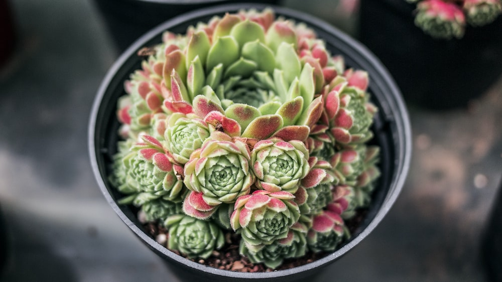 selective focus photography of green and red succulent plants