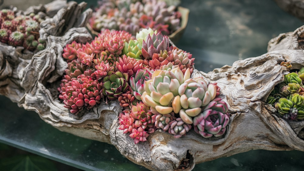 pink and green succulent plant