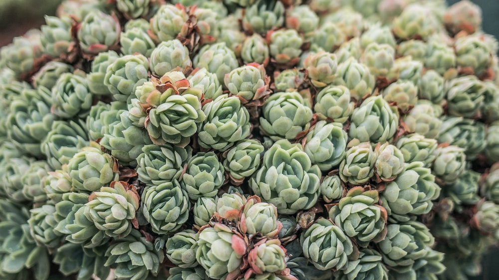 green and pink succulent plants in bloom