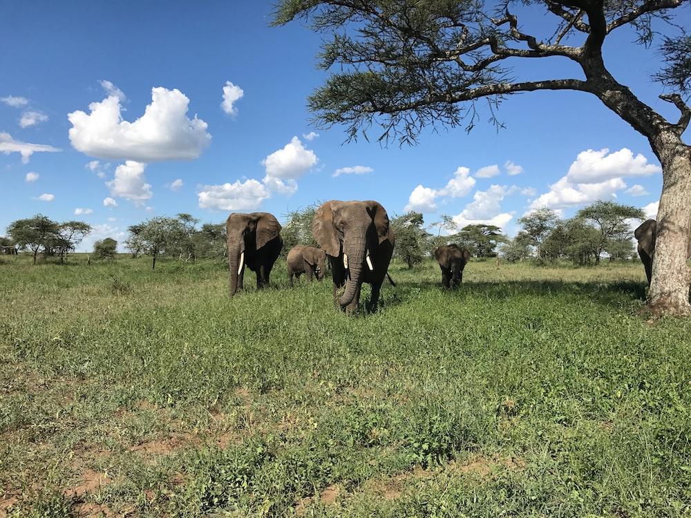 gray elephants walking on grass field