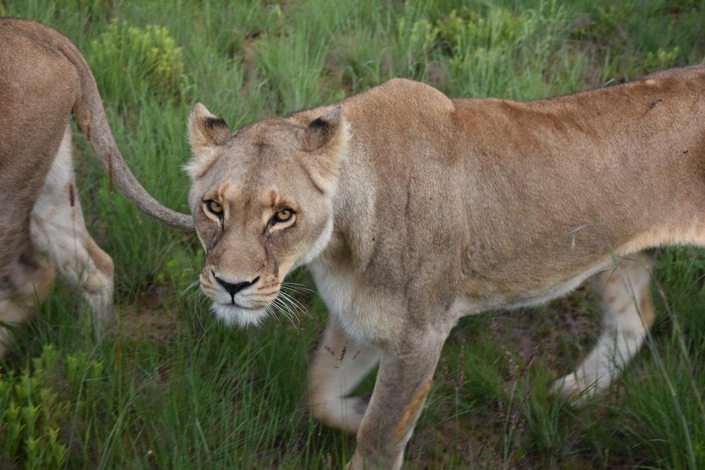 brown lion walking on green grass