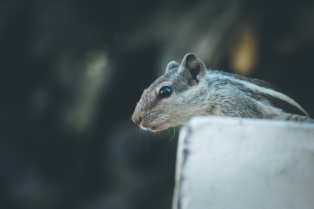 gray and black squirrel close-up photography