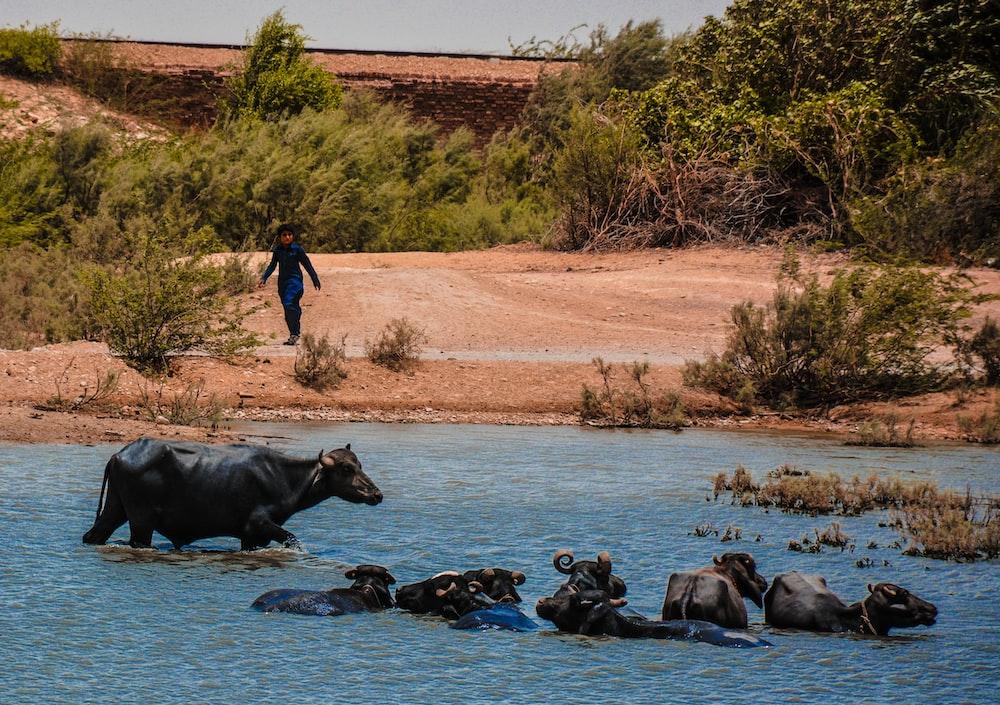 herd of black water buffalo swimming in water