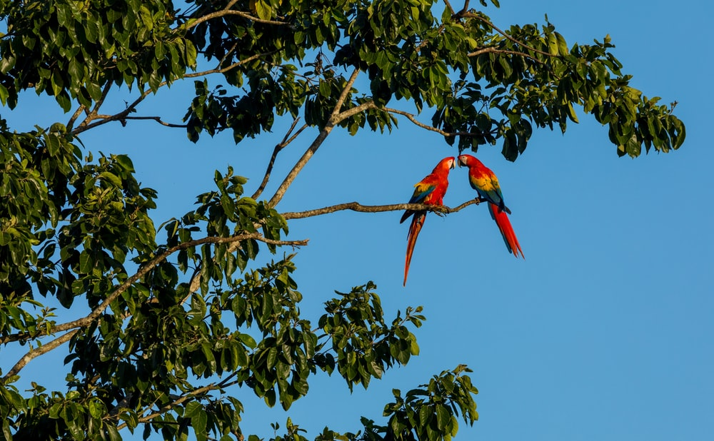 two red scarlet macaw