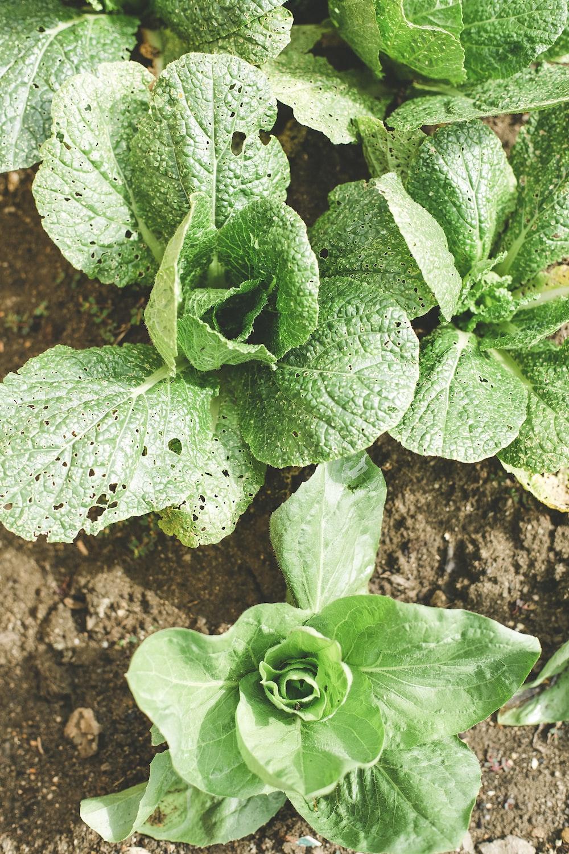 bokchoy plants