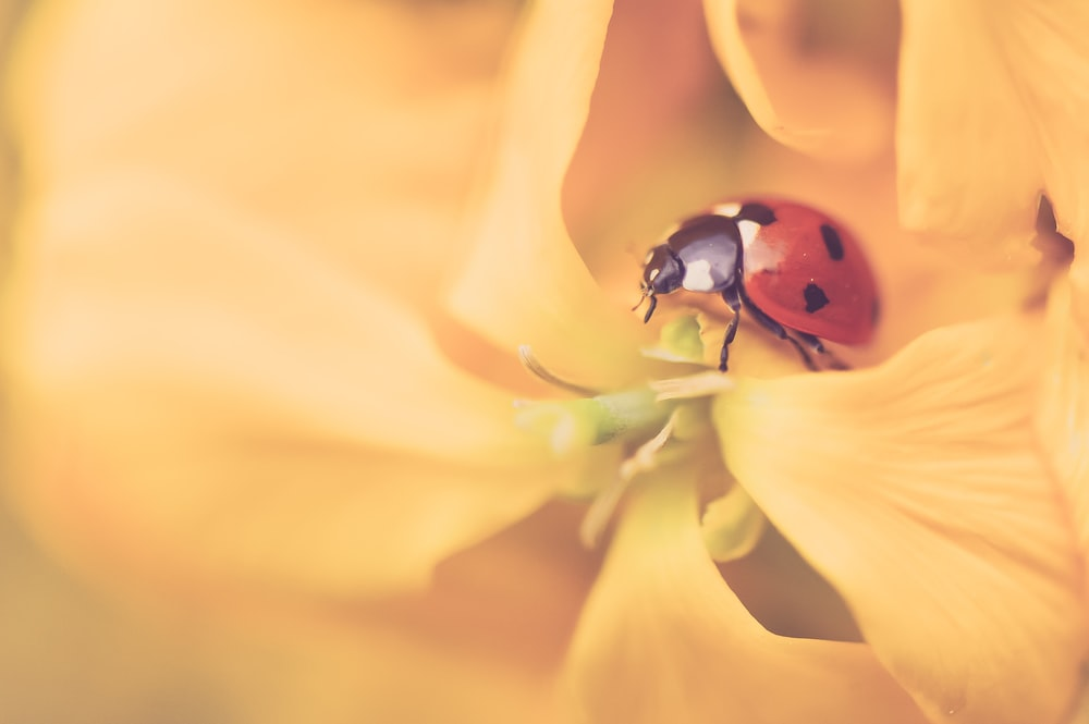 macro photography of red and black ladybug