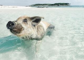 brown pig swimming