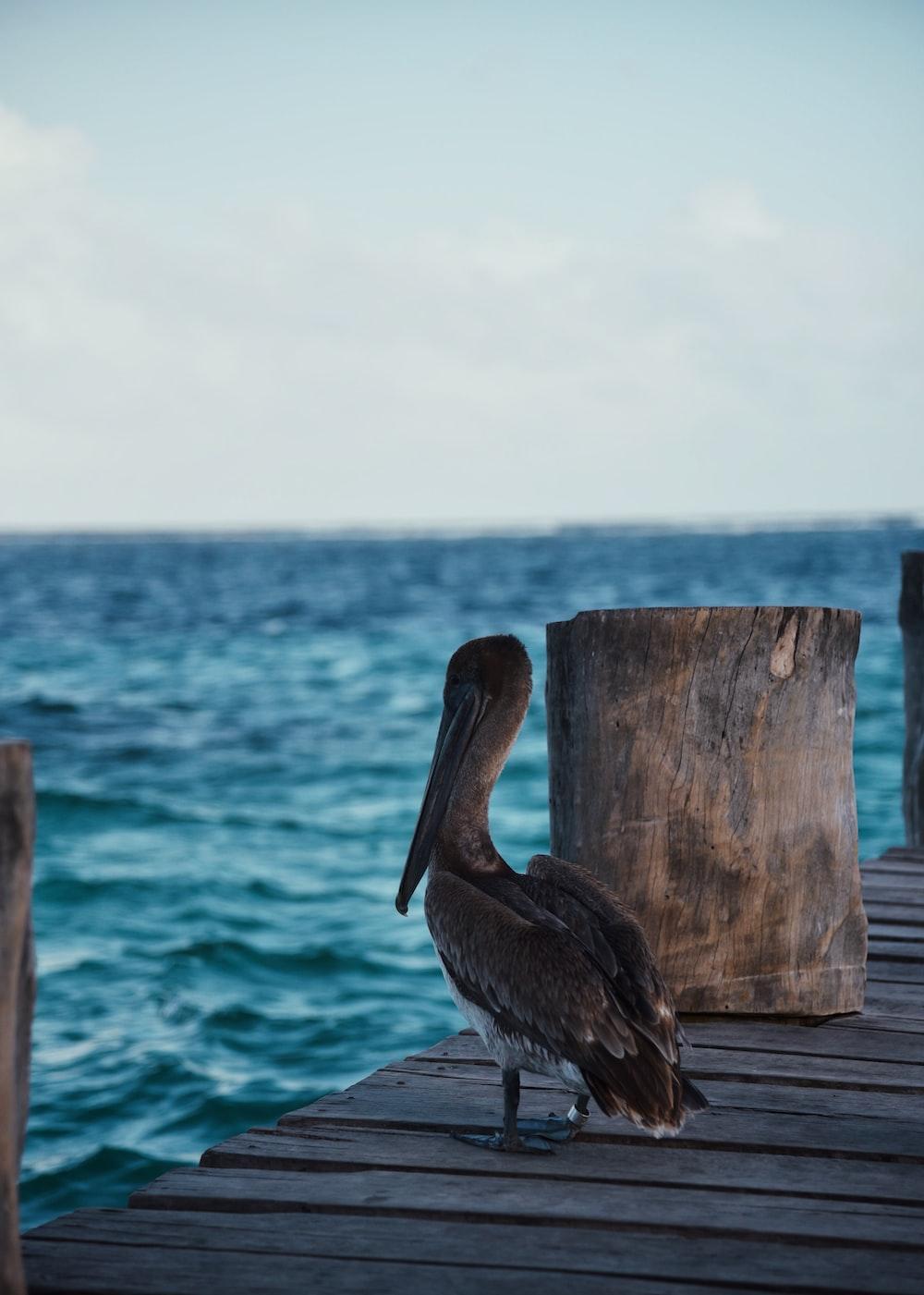pelican on brown dock