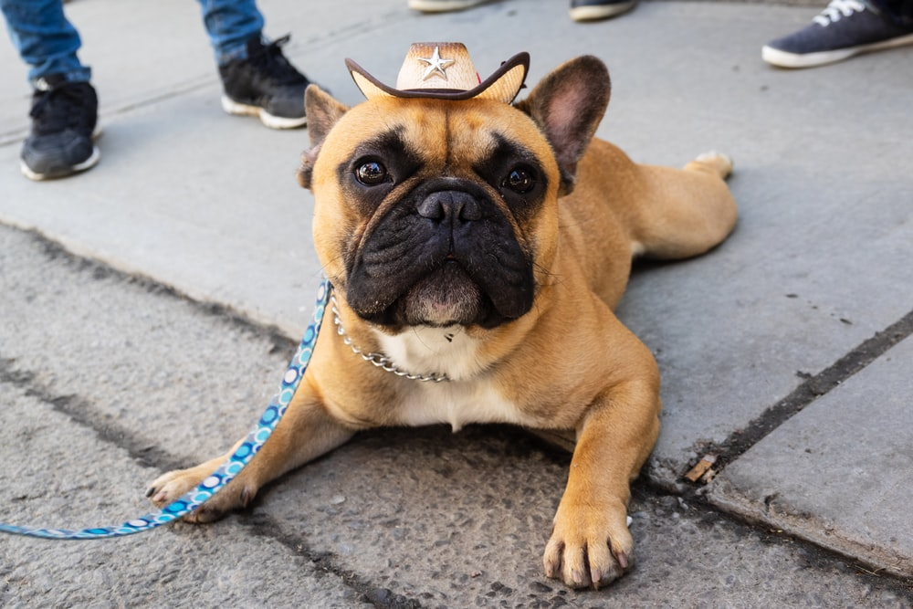 brown French Bulldog lying on pavement