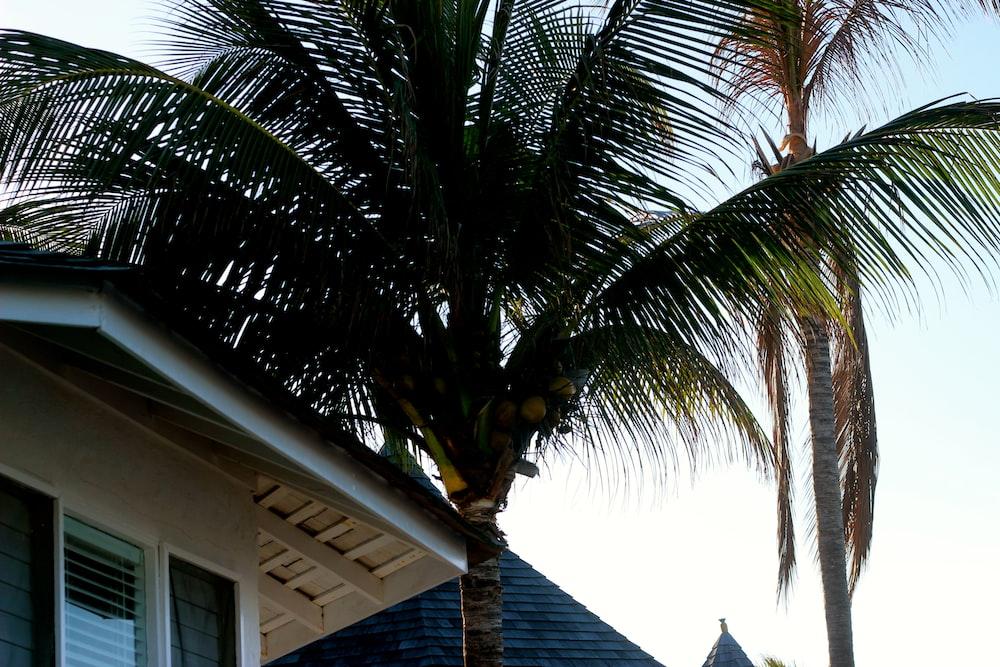coconut tree beside house