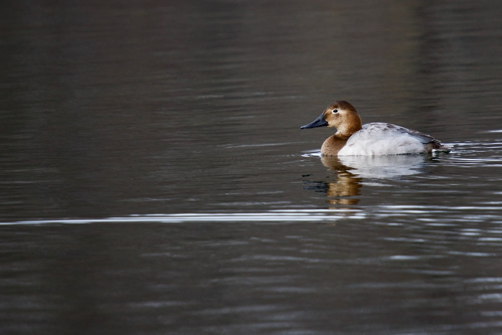 white and brown duck on body of water