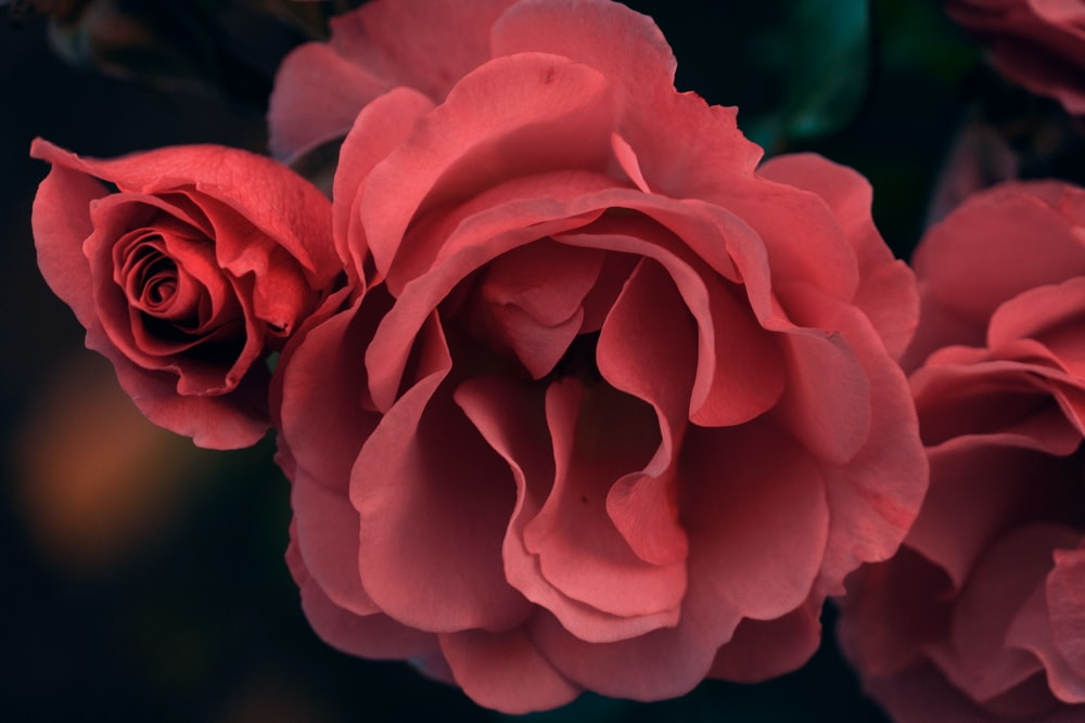 close-up photography of red roses