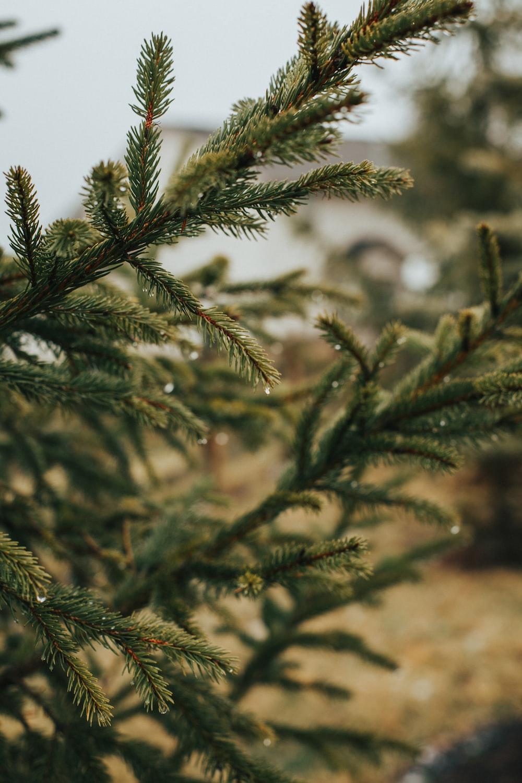 pine tree close-up photography