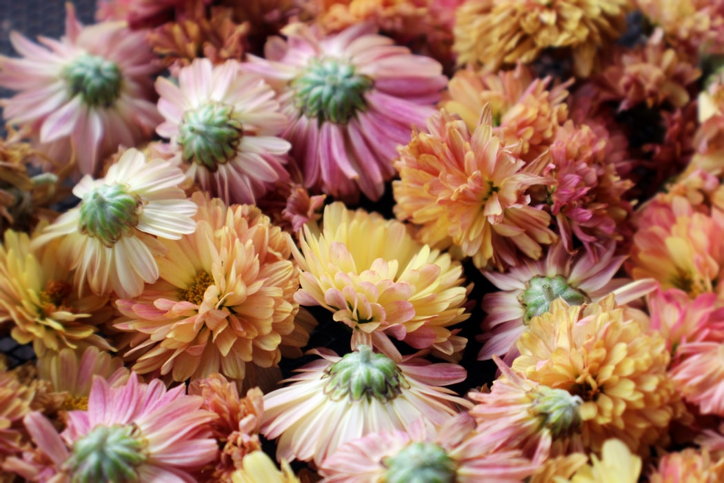Chrysanthemums | 63 Amazing Pest And Insect Repellent For Plants You Should Know