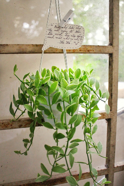 green devil's ivy plant
