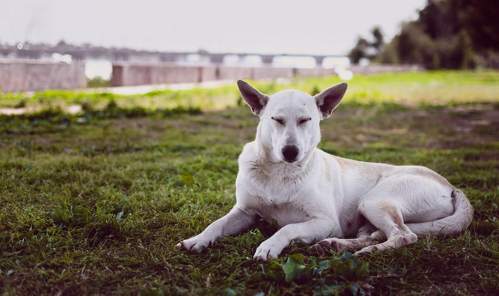 white dog resting on grass