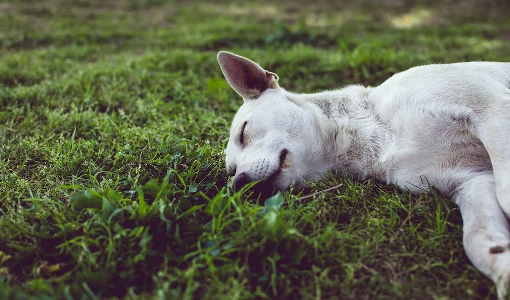 white dog sleeping on green grass