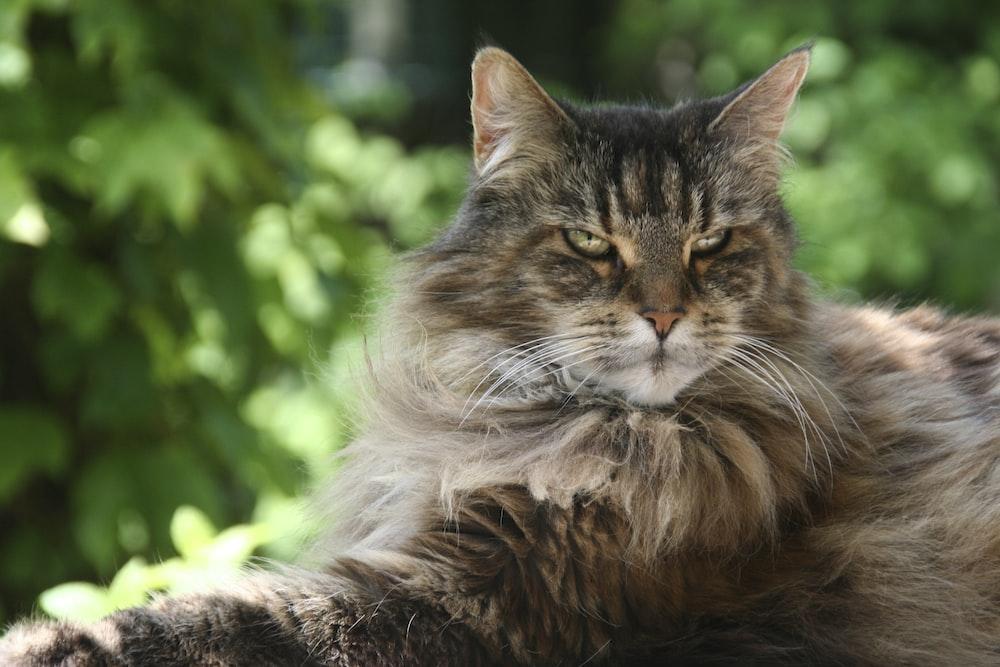 long-furred brown cat
