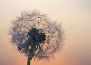 dandelion flower under golden hour