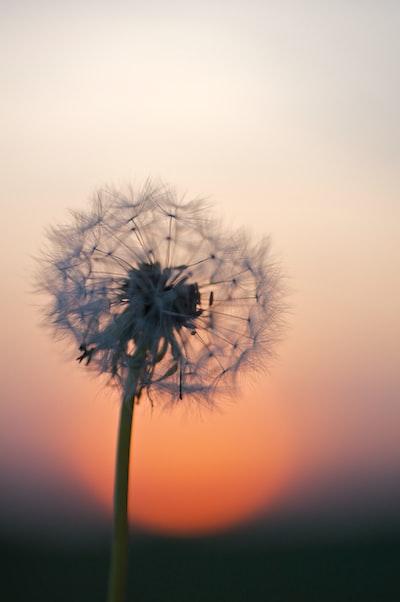 dandelion flower under golden hour