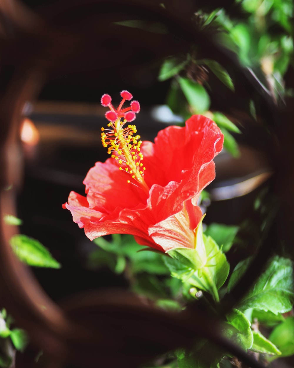 shallow focus photo of Chinese hibiscus
