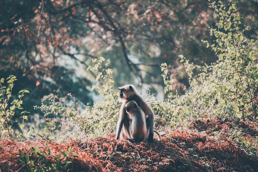 two brown monkey sitting beside grass