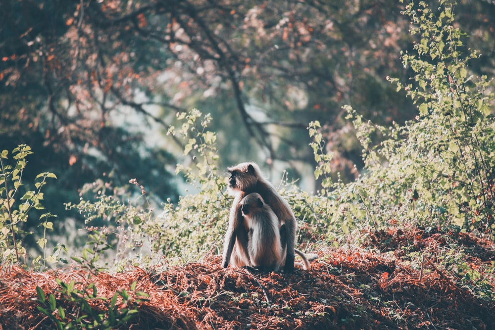 two brown monkey sitting beside grass