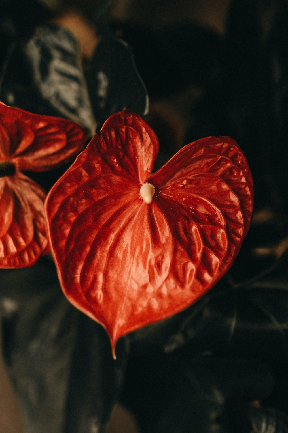 red lace leaf flower