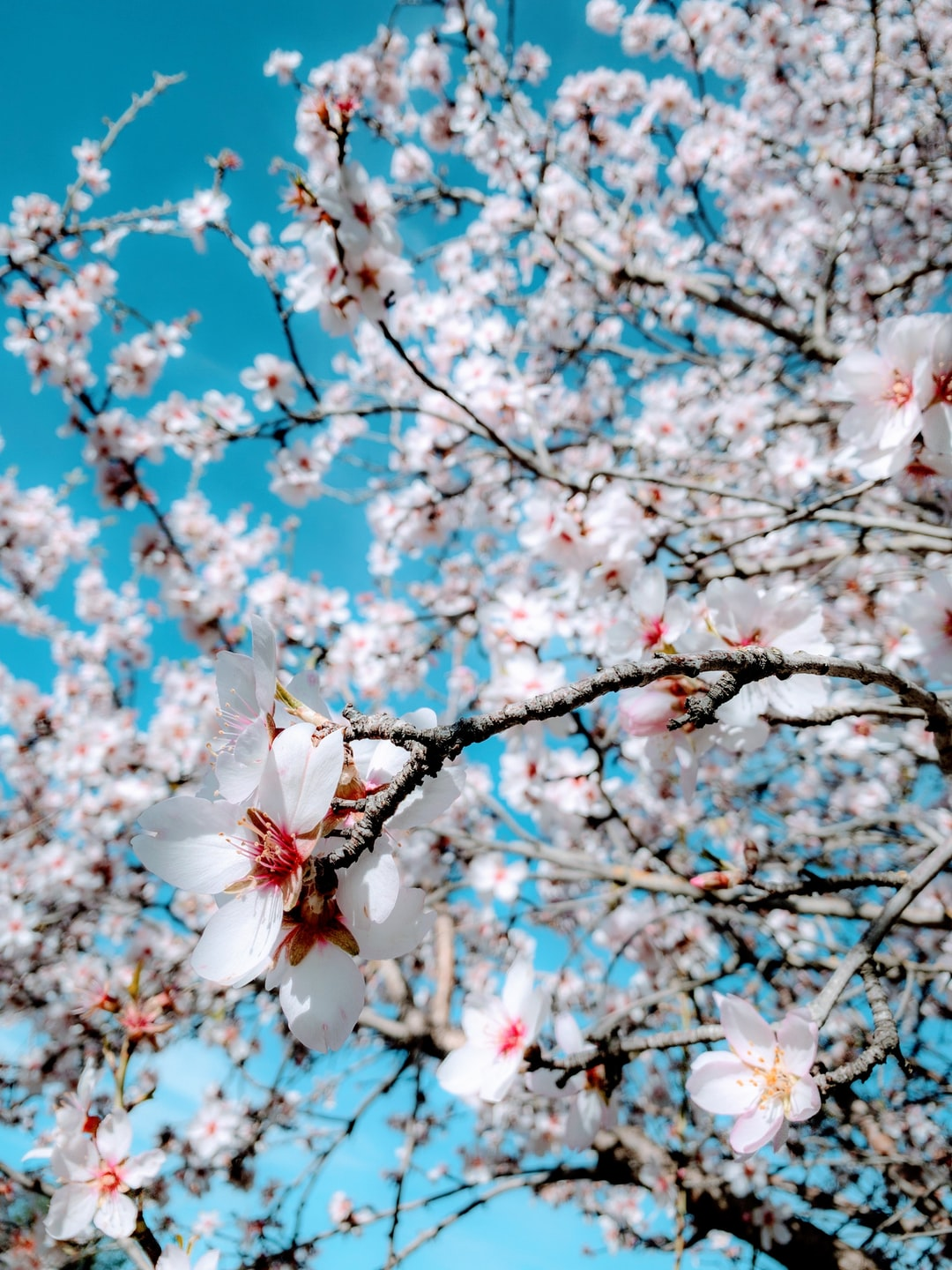 Apricot tree in full blossom