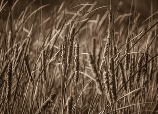 sepia photography of grass