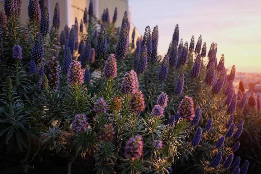bunch of purple flowers