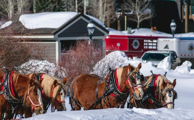 four brown and white horses outdoor during daytime sleigh teams background