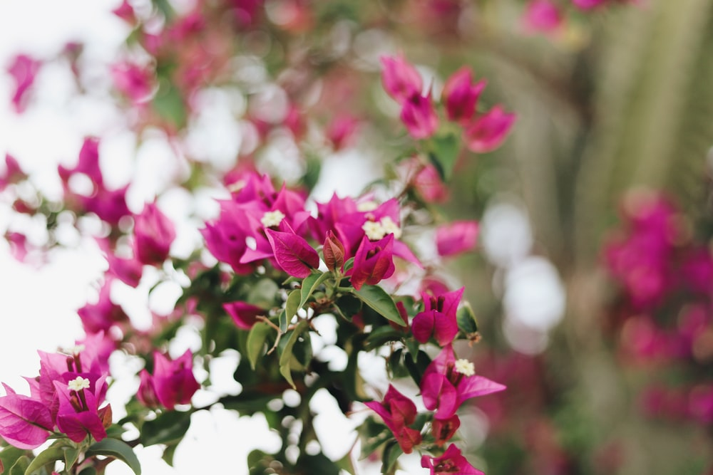 pink flowered plant