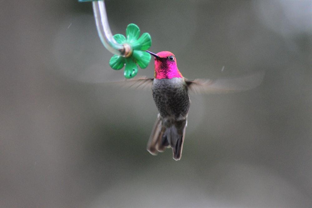 pink and gray hummingbird