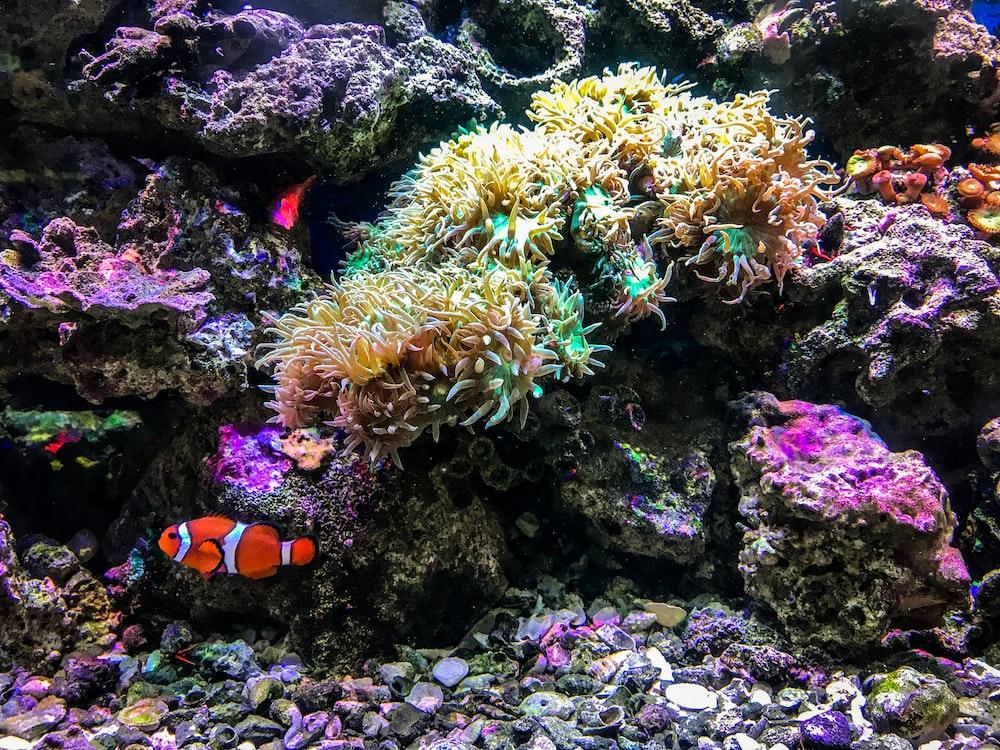 clown fish besides corals