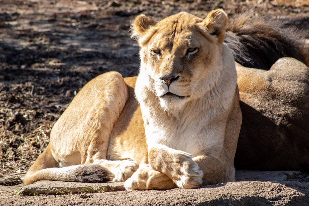 view of lioness