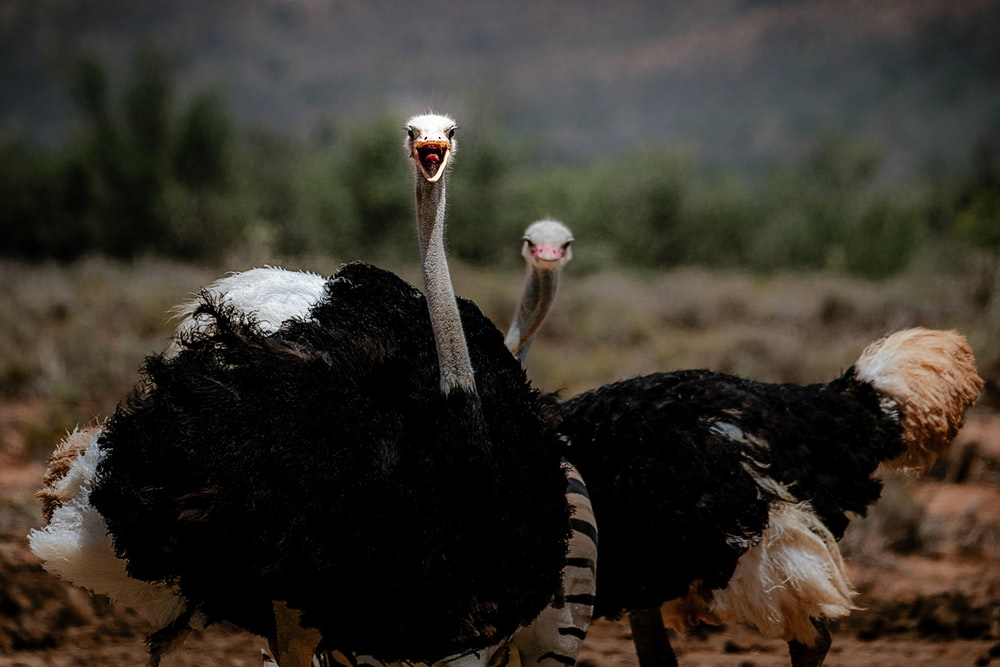 two ostrich on field