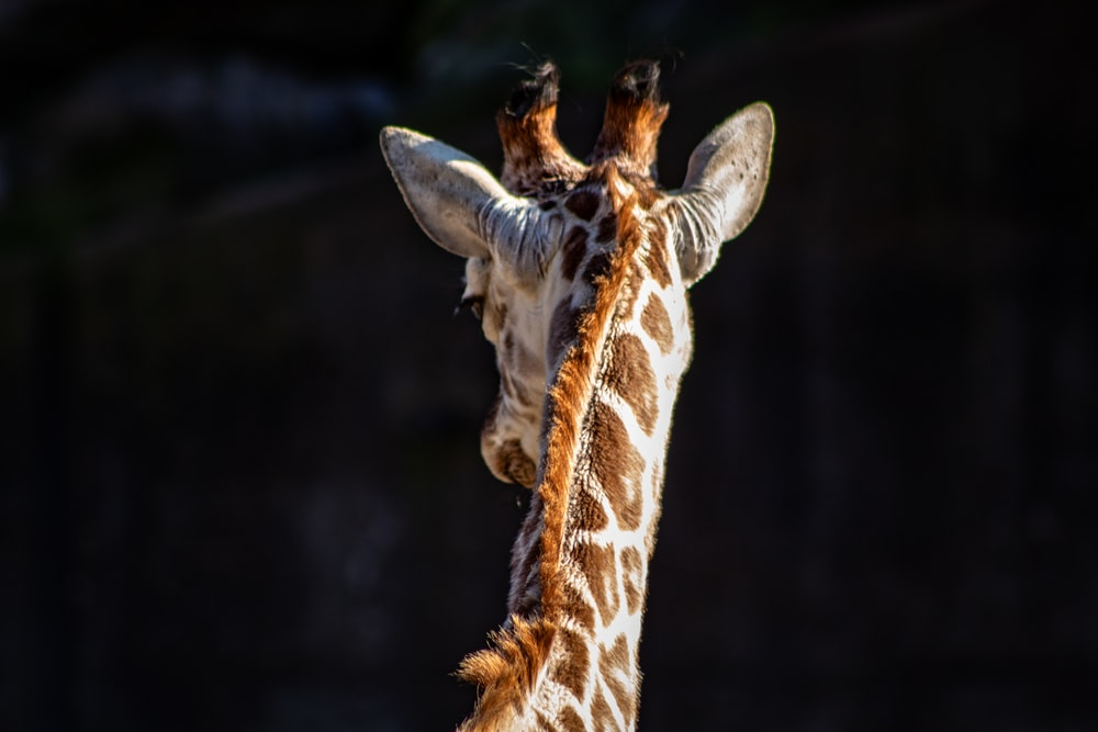brown and beige giraffe