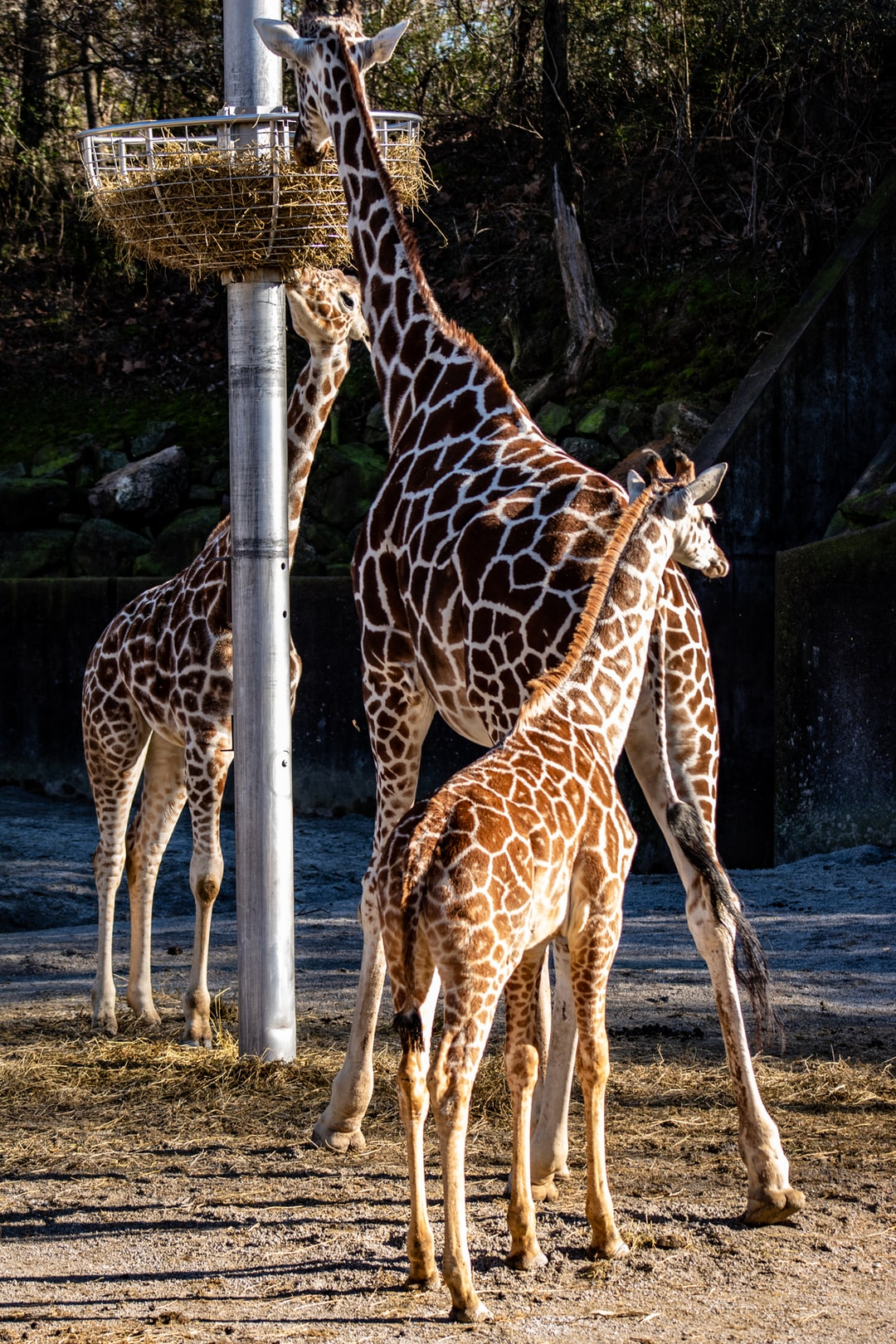 The baby giraffe can't quite reach the food…I guess it will have to find some elsewhere.