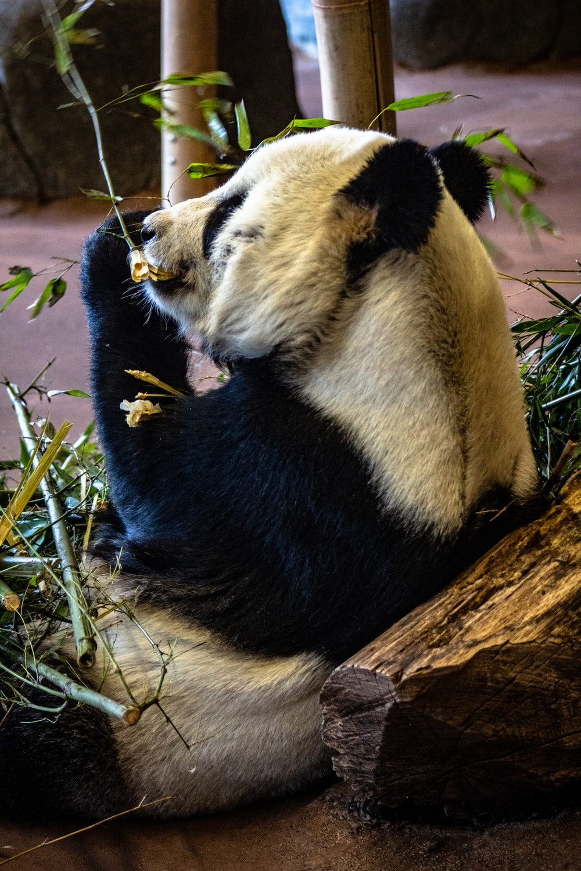 panda on concrete ground